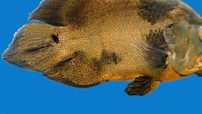 Amazon Tropical Fish - Tiger Oscar, Blue Background. Magnificent tropical fish - Tiger Oscar stock video footage