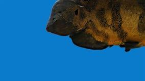 Amazon Tropical Fish - Tiger Oscar, Blue Background. Magnificent tropical fish - Tiger Oscar stock video
