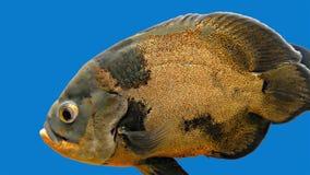 Amazon Tropical Fish - Tiger Oscar, Blue Background. Magnificent tropical fish - Tiger Oscar stock footage