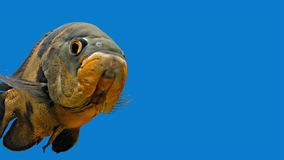 Amazon Tropical Fish - Tiger Oscar, Blue Background stock footage