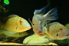 Amazon tropical fish. Tropical fish which are eating feed Stock Images