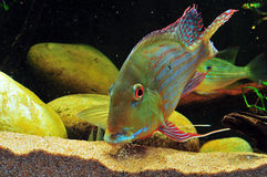 Amazon tropical fish. Tropical fish which are eating feed Stock Photography