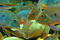 Amazon tropical fish. Tropical fish which are eating feed Stock Photos
