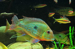 Amazon tropical fish. Tropical fish which are eating feed Royalty Free Stock Images