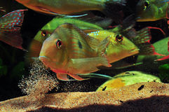 Amazon tropical fish. Tropical fish which are spitting sand Royalty Free Stock Photography