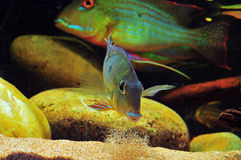 Amazon tropical fish. Tropical fish which are spitting sand Stock Image