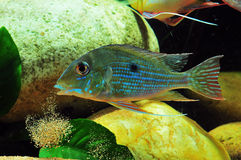Amazon tropical fish. Tropical fish which are spitting sand Stock Photography