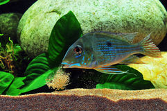 Amazon tropical fish. Tropical fish which are spitting sand Royalty Free Stock Photo
