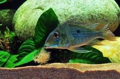 Amazon tropical fish Royalty Free Stock Photo