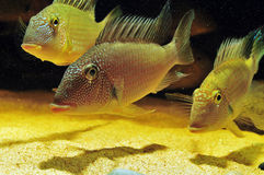 Amazon tropical fish Royalty Free Stock Photos