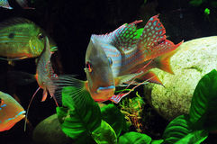 Amazon tropical fish. Tropical fish which are swimming Stock Images