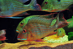 Amazon tropical fish Stock Images