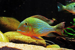 Amazon tropical fish. Tropical fish which are swimming Royalty Free Stock Photography