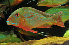 Amazon tropical fish. Tropical fish which are swimming Stock Image