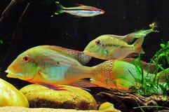 Amazon tropical fish Stock Image