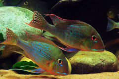 Amazon tropical fish. Tropical fish which are swimming Stock Photos