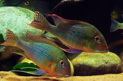 Amazon tropical fish Stock Photos