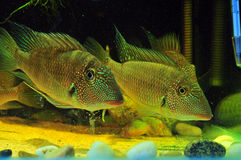 Amazon tropical fish. Tropical fish which are swimming Royalty Free Stock Image