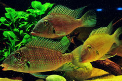 Amazon tropical fish. Tropical fish which are swimming Royalty Free Stock Photo