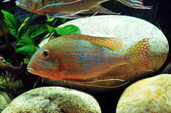 Amazon tropical fish. Tropical fish which are swimming Stock Photo