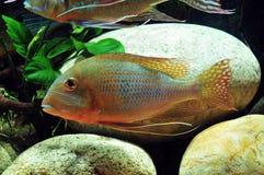 Amazon tropical fish Stock Photo