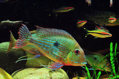 Amazon tropical fish. Tropical fish which are swimming Royalty Free Stock Photos