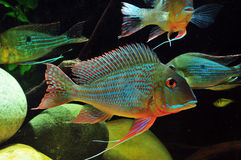Amazon tropical fish. Tropical fish which are swimming Stock Photography