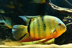 Amazon tropical fish Royalty Free Stock Image