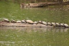 Amazon Turtles Royalty Free Stock Image