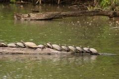 Amazon Turtles Stock Image