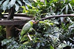 Amazon Vermelho-coroado Foto de Stock