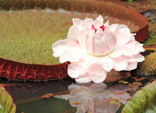 Victoria Amazonica Lilly Pad and flower. These Lilly Pads get up to 6 feet across and have a beautiful pink flower.  Also known as Victoria Regia Royalty Free Stock Photo