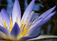 Amazon Waterlily Royalty Free Stock Images