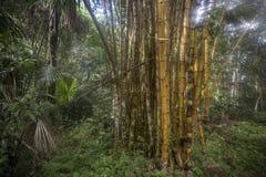 Amazon yellow bamboo. Yellow bamboo in the Amazon jungle Stock Photography