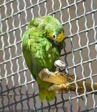 Amazon yellow-crowned Royalty Free Stock Image