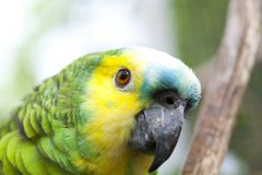 Amazona aestiva Stock Photos