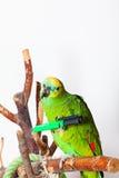 Amazona amazonica Lizenzfreies Stockbild