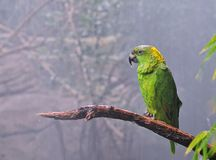 Amazona auropalliata Stock Image