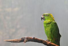 Amazona auropalliata. Royalty Free Stock Photography