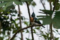 Amazona de Chloroceryle de martin-pêcheur d'Amazone photo stock
