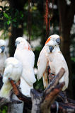 Amazona ochrocephala Obrazy Royalty Free