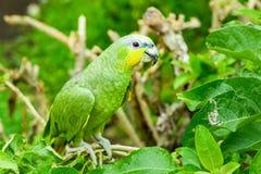 Amazona Ochrocephala Parrot Bird Royalty Free Stock Photography