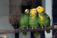 Amazona ochrocephala Stock Photography