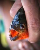 amazonas比拉鱼 免版税库存图片