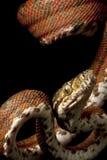 Amazonas-Baumboa Stockbild