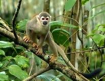 Amazonas-Becken Inhabitor lizenzfreie stockfotografie