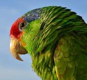 Amazonas coroadas vermelho Fotos de Stock