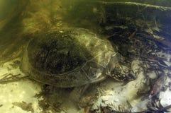 AMAZONAS-GEBIET TURTLE/podocnemis expansa Stockfoto