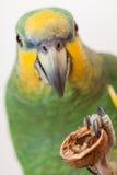 Amazonas grünen den Papageien, der oben einen Nussabschluß isst Stockfotos