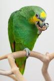 Amazonas grünen den Papageien, der oben einen Nussabschluß isst Stockbild